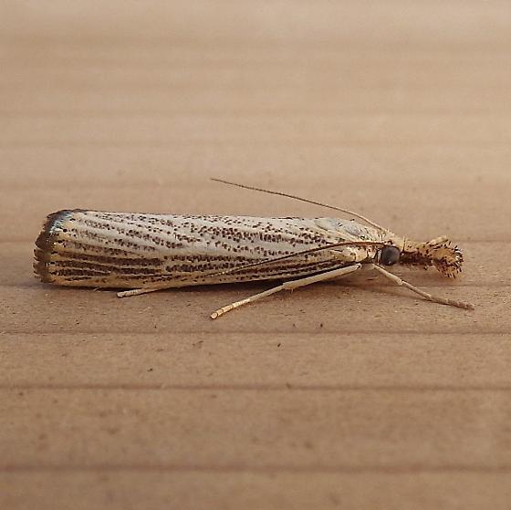 Crambidae: Agriphila vulivagellus - Agriphila vulgivagellus