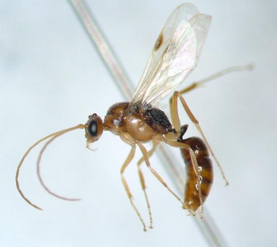 Ant 11 - Odontomachus? - Odontomachus ruginodis - male