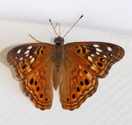 Butterfly - Asterocampa celtis - female