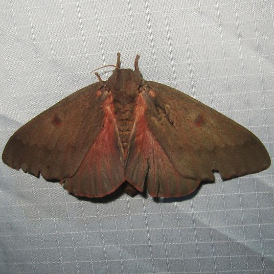Pine Devil Moth - Hodges#7708 - Citheronia sepulcralis - female