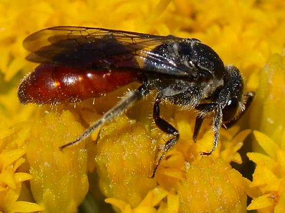 Red abdomen, dry mountain bee - Sphecodes