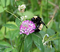 Which bombus, please-us? - Bombus pensylvanicus