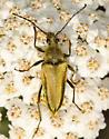 golden longhorn - Lepturobosca chrysocoma