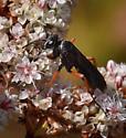 Spider Wasp sp - Episyron conterminus