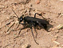 Wasp ID Request - Anoplius