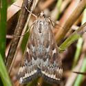 Unknowm Moth - Loxostege munroealis