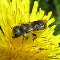 Osmiini 01a - Osmia coloradensis - female