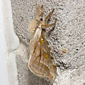 Silver-spotted Ghost Moth - Hodges#0018 - Sthenopis argenteomaculatus