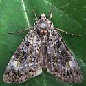 A Noctuid sp. - Anaplectoides prasina