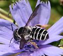 Megachile ID Request - Megachile pugnata