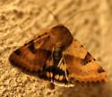 Darker-spotted Straw Moth   - Heliothis phloxiphaga