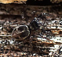 spider - Anasaitis canosa