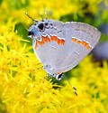What kind of butterfly is this? - Calycopis cecrops