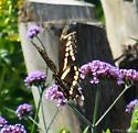 swallowtail - Papilio cresphontes