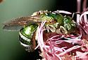 Bee - Agapostemon sericeus