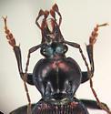 Sphaeroderus canadensis canadensis Chaudoir - Sphaeroderus canadensis - male