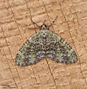 Olive-and-black Carpet - Hodges#7635 (Acasis viridata) - Acasis viridata