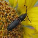 Elateroidea 5-17-10 03 - Limonius