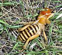 Jiminy cricket! - Stenopelmatus