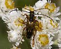Golden Beetles - Xestoleptura crassipes - male - female