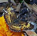 Mystery Butterfly with Open Wings - Chlosyne nycteis - male