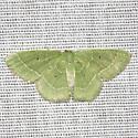 Cypress Emerald Moth  - Hodges #7029 - Nemoria elfa