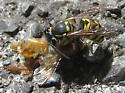 Second thoughts on this - Vespula pensylvanica