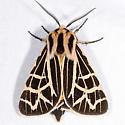Ornate Tiger Moth - Apantesis ornata - male