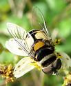 Syrphid - Palpada agrorum - female