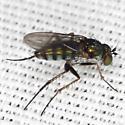 Long-legged Fly - Dolichopus alacer