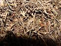 ants with large hills, northern Idaho - Formica