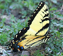 Eastern Tiger swallowtail? - Papilio glaucus - male