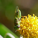 Texas Green Fly - Hedriodiscus trivittatus - female