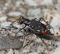 Cicindela rufiventris (Eastern Red-bellied Tiger Beetle) - Cicindelidia rufiventris