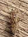Chaoborus punctipennis - female