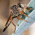 ID for a another robber fly? - Stenopogon californiae - female