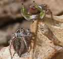 Jumper Duo - Habronattus viridipes - male - female