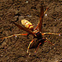 Wasp  - Polistes aurifer - female
