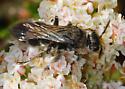 Hairy Wasp Seeks ID - Got it! Subfamily Tiphiinae. - female