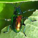 Dogbane Beetle - Chrysochus auratus