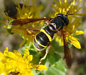 Unknown Fly or Wasp - Spilomyia sayi
