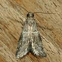 Moth - Alpheias transferrens