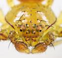 Crab Spider - Mecaphesa celer - male