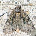 Black-banded Brocade - Oligia modica