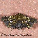 7005641 moth - Dysodia granulata