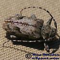 Flat-faced Longhorn Beetle - Aegomorphus modestus