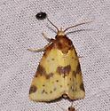 Yellow and brown moth - Azenia obtusa
