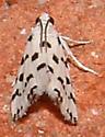 tiny speckled moth - Eustixia pupula