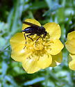 Black Fly? on yellow Butter Cup - Empis