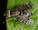 Signal fly Platystoma seminationis - Platystoma seminationis - female